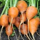 300 SEEDS of Parisian Carrot Seeds, Tonda di Parigi, Paris Market, NON-GMO, FREE SHIP
