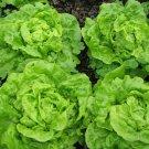 350 Seeds of Tom Thumb Leaf Lettuce Seeds, Butterhead, Bibb, NON-GMO, Heirloom, FREE SHIP