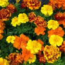 150 Seeds of French Marigold Sparky Mix, Beautiful Colors, Garden Pest Deterrent, FREE SHIP