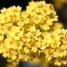 50 of ALYSSUM BASKET OF GOLD FRESH FLOWER SEEDS