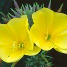1000+ Seeds of Common Evening Primrose Seeds, Beautiful Yellow Flowers, Fragrant, FREE SHIP