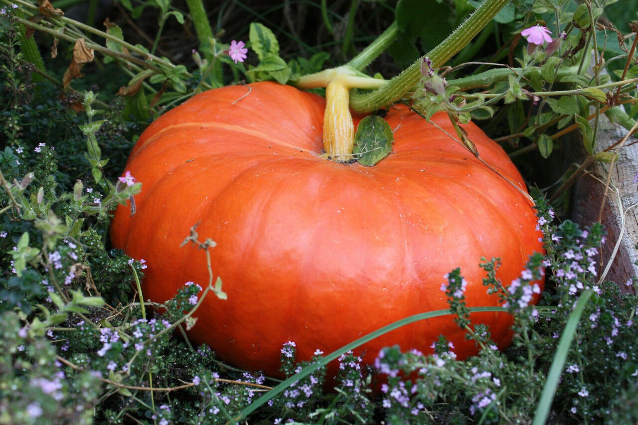 4 Seeds of Cinderella Pumpkin Seeds, Pumpkin Pie, Halloween, Rouge vif d'Etampes, FREE SHIP