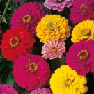 100 Seeds of Dahlia Flowered Zinnia Mix, Elegans, Mixed Colors, Easy to Grow, FREE SHIP
