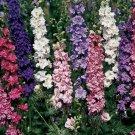 250 Seeds of Rocket Larkspur Mix, Delphinium consolida, Delphinium, Variety Sizes, FREE SHIP