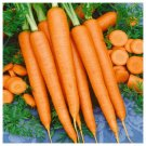 600 Seeds of Tendersweet Carrot Seeds, Beta Carotene, Vitamin A, NON-GMO, FREE SHIP