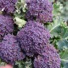 400 Seeds of Purple Sprouting Broccoli Seeds, NON-GMO, Heirloom, Variety Sizes, FREE SHIP