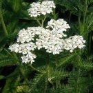 3500 Seeds of White Yarrow Wildflower Seeds, Native Wildflower, Variety Sizes, FREE SHIP