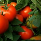 30 Seeds of Abe Lincoln Tomato Seeds, Large Round Tomato, Heirloom, NON-GMO, FREE SHIP