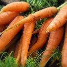 600 Seeds of Scarlet Nantes Carrot Seeds, Early Coreless, NON-GMO, Variety Sizes, FREE SHIP