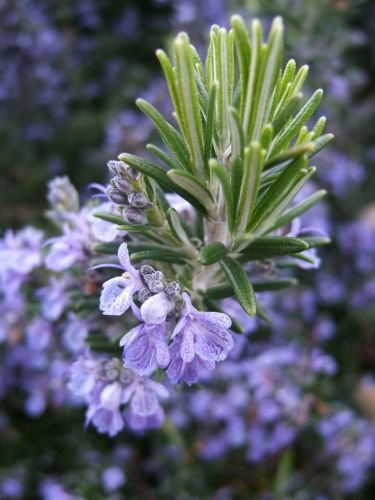 50 Seeds of Rosemary Seeds, NON-GMO, Heirloom, Variety Sizes, Herb Seeds, FREE SHIP