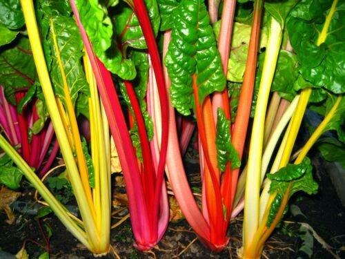 30 Seeds of Rainbow Swiss Chard Seeds, Bright Lights, NON-GMO, Variety Sizes