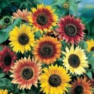 35 Seeds of Autumn Beauty Sunflower Mix, Very Colorful, Variety Sizes Sold, FREE SHIP