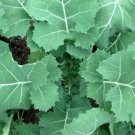 250 Seeds of Kale Seeds Premier, NON-GMO, Cruciferous, Early Hanover, Variety Sizes Sold