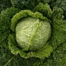250 Seeds of Savoy Perfection Cabbage Seeds, NON-GMO, Drumhead, Easy Grow Heirloom, FREE SHIP