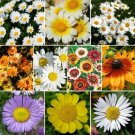 250 Seeds of Daisy Crazy, Daisy Wildflower Seed Mix, 10 Species, Variety Sizes, FREE SHIP