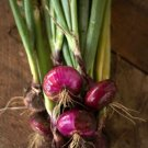 100 Seeds of Red Cipollini Onion Seeds, Italian Onion, Red Marble, NON-GMO, FREE SHIP