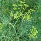 500 Seeds of Bouquet Dill, Vanderbilt, Heirloom, NON-GMO, Variety Sizes, Easy Grow Herb