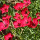 250 Seeds of Scarlet Flax Seeds, Beautiful Bright Red Flowers, Heat and Drought Tolerant
