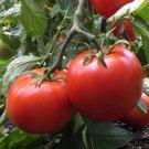 Manitoba Tomato Seeds, 30 Seeds, NON-GMO, FREE SHIP