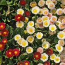 1000+ Seeds of English Daisy Wildflower Seeds, Bellis perennis, Variety Sizes, FREE SHIP