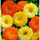 50 Seeds of Calendula Pacific Beauty Seeds Mix, Pot Marigold, Variety Sizes, FREE SHIP