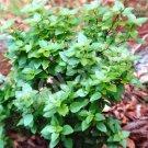 250 Seeds of Dwarf Greek Basil, RARE, NON-GMO, Variety Sizes Sold, FREE SHIP