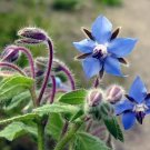 30 Seeds of Borage Seeds, Starflower, Tailwort, NON-GMO, Variety of Sizes, FREE SHIPPING
