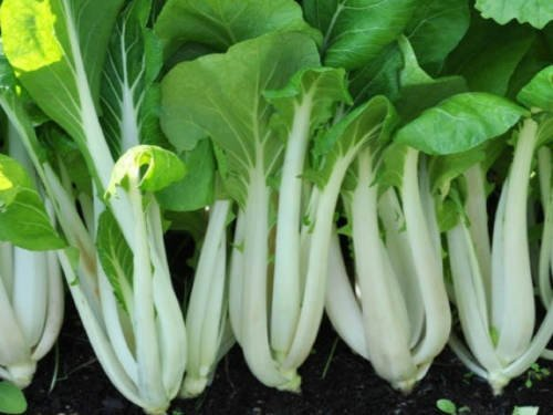 250 Seeds of Pak Choi White Stem Chinese Cabbage Seeds, NON-GMO, Variety Sizes, FREE SHIP