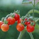 Tiny Tim Cherry Tomato Seeds, 30 Seeds, - NON GMO