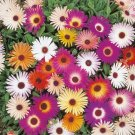 1000+ Seeds of Mixed Ice Plant Seeds, Livingstone Daisy, Variety Sizes Sold, FREE SHIP