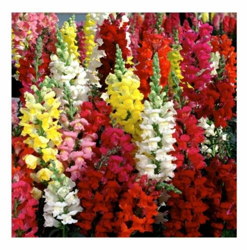 1000+ Seeds of Snapdragon Seeds, Tetra Mix, Multi Color Blooms, Bees and Butterflies