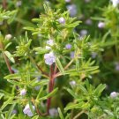 500 Seeds of Summer Savory Herb Seeds, Chubrica, NON-GMO, Variety Sizes