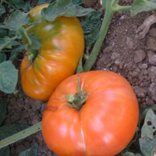 Amana Orange Tomato, 30 Seeds, NON-GMO, Large Beefsteak, Rare