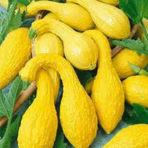 10 Seeds of Summer Squash, Yellow Crookneck, NON-GMO, Variety Sizes Sold