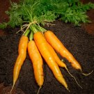 300 Seeds of Carrot Seeds, Imperator 58, NON-GMO, Heirloom, Variety Sizes