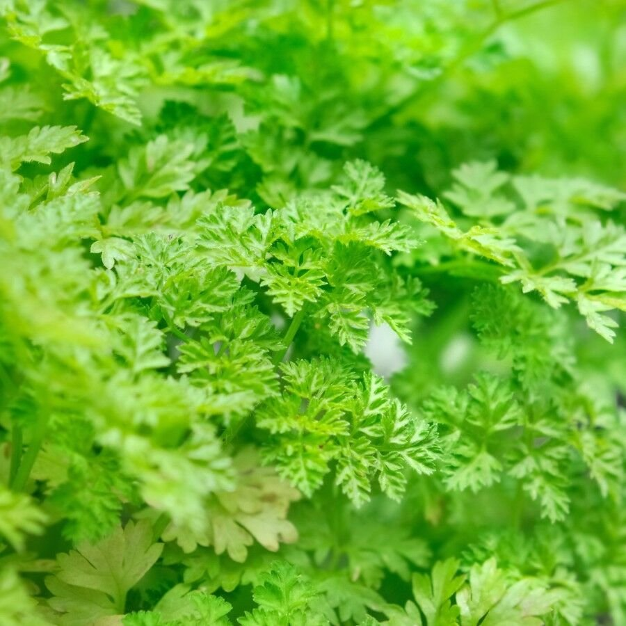 200 Seeds of Winter Chervil, French Parsley, NON-GMO, Heirloom, Variety Sizes