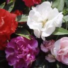 25 of IMPATIENS TOM THUMB MIX FLOWER SEEDS FRESH SEEDS IMPATIENCE