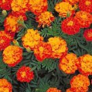 75 of FRENCH MARIGOLD SPARKY MIX FRESH SEEDS