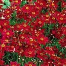 100 of PLAINS COREOPSIS TALL RED FLOWER FRESH SEEDS