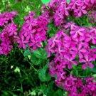 100 of CATCHFLY FLOWER FRESH SEEDS SILENE ARMERIA