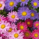 50 of SINGLE MIX ASTER FLOWER SEEDS FRESH