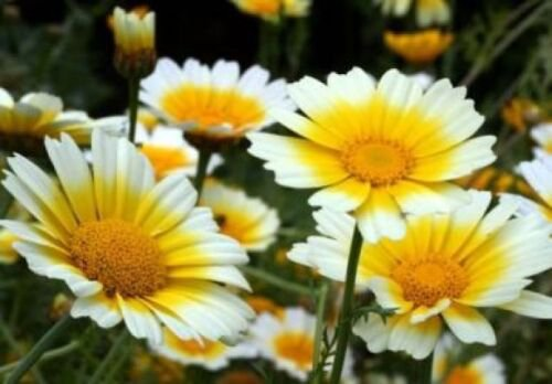100 of GARLAND DAISY FLOWERS FRESH SEEDS