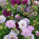 35 of PINCUSHION FLOWER FRESH SEEDS SCABIOAS ATROPUREA