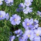 100 of BLUE LEWISII FLAX FRESH SEEDS