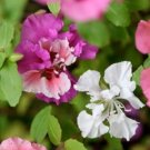 100 of CLARKIA FLOWER SEEDS FRESH SEEDS PINK/LAVENDER/WHITE