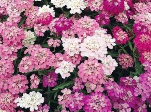 100 of CANDYTUFT MIXED COLORS FRESH SEEDS WHITE/PINK/PURPLE