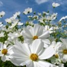 30 of COSMOS PURITY RESH FLOWER SEEDS