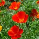 100 of MIKADO CALIFORNIA POPPY FLOWER FRESH SEEDS