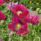 100 of HEN & CHICKENS POPPY FLOWER SEEDS FRESH SEEDS