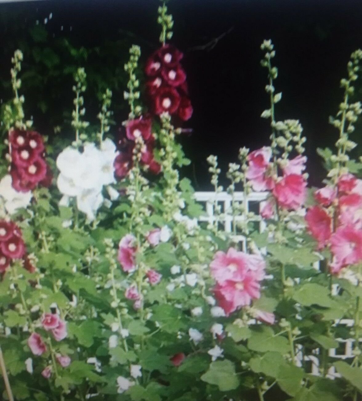 20 of Hollyhock Indian Spring Mixed Flower Seeds